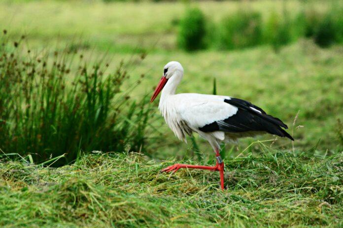 stork, bird, animal