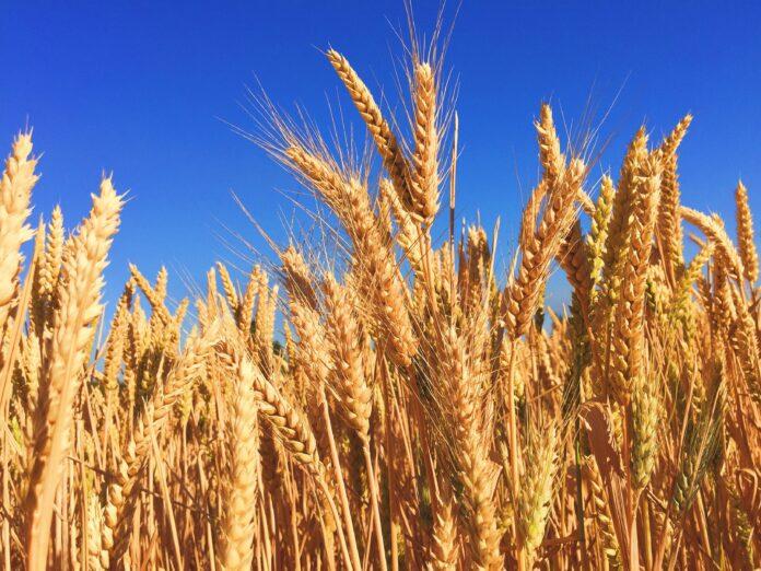 wheat, grass, barley