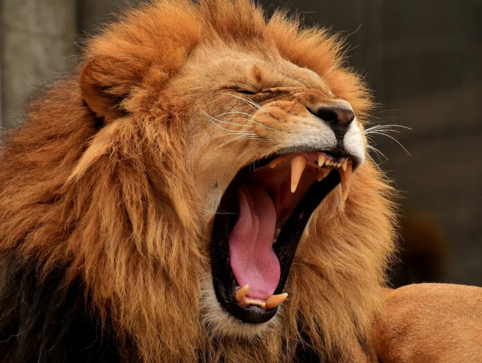 lion, predator, mane